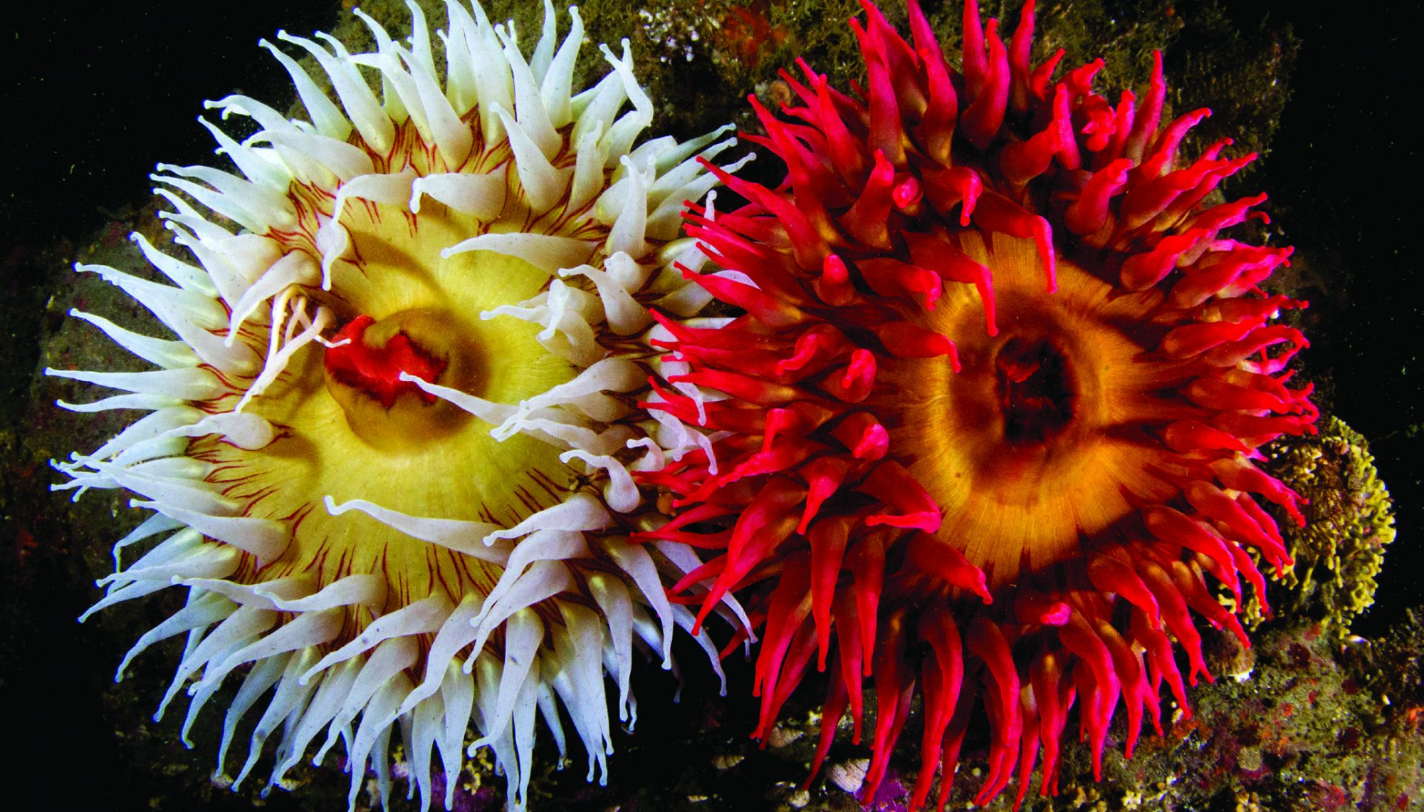anemones burst with color in the Salish Sea