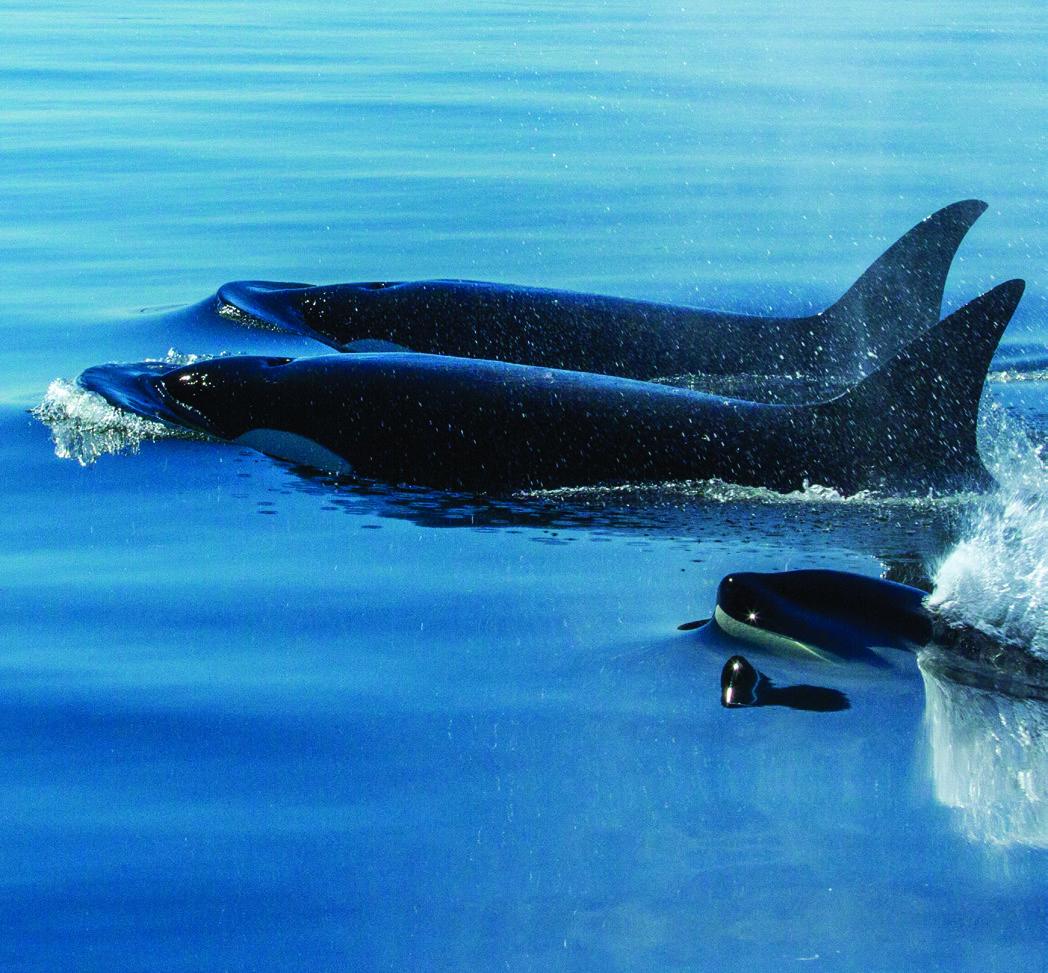 Orcas patrol the Salish Sea