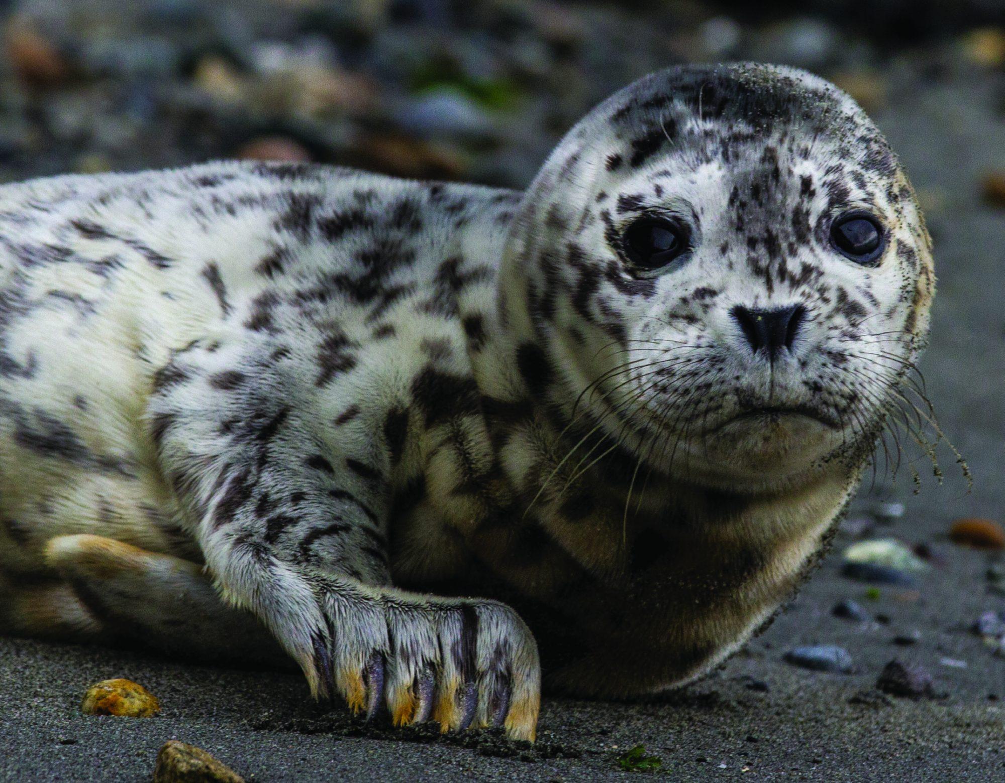 Baby harbor seals haul